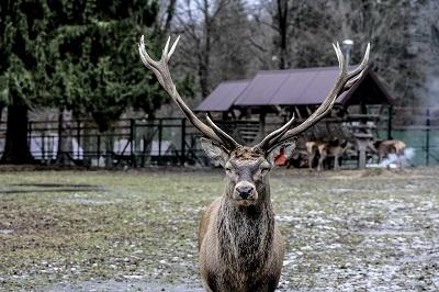鹿の角切り 2015