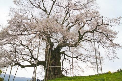 お花見 醍醐桜