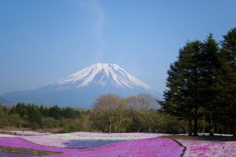 お花見,富士芝桜まつり