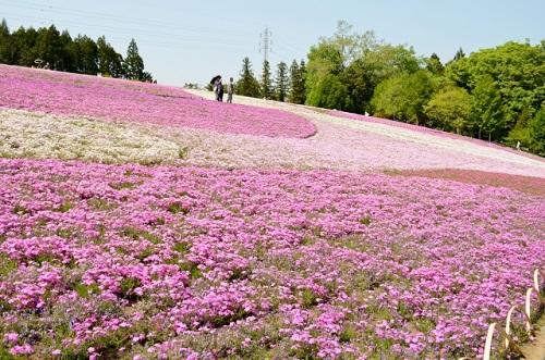 お花見 羊山公園