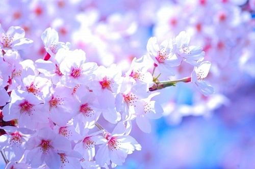お花見 鎌倉