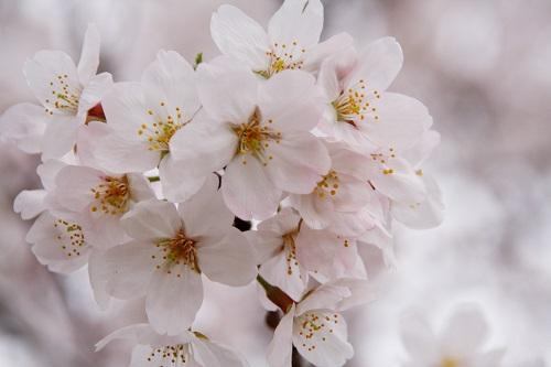お花見,佐賀桜マラソン