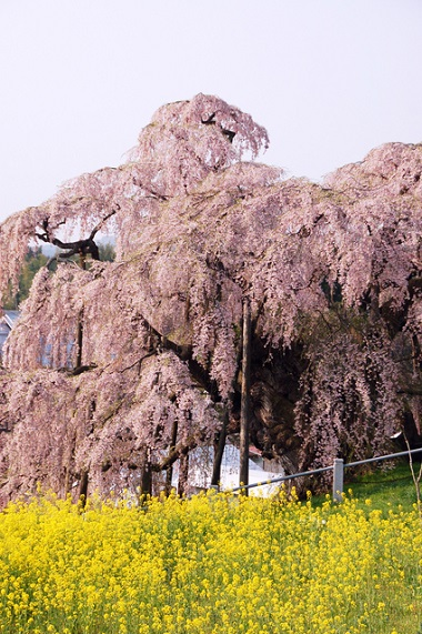 お花見 三春滝桜