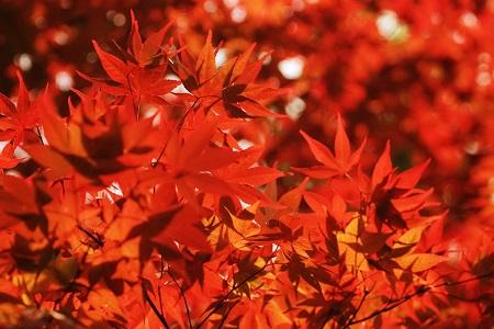 秋月城跡周辺 紅葉 見頃