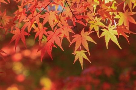秋川渓谷 紅葉 見頃