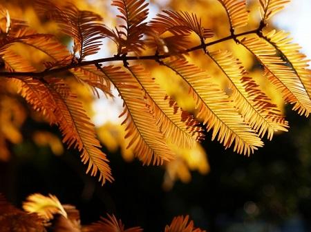 紅葉 メタセコイア並木 見頃