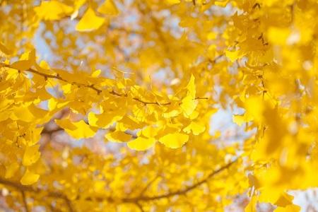 明治神宮外苑 紅葉 いちょう